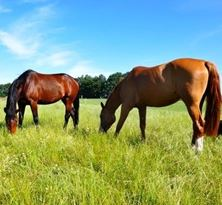 Picture of Horse Pasture Mix